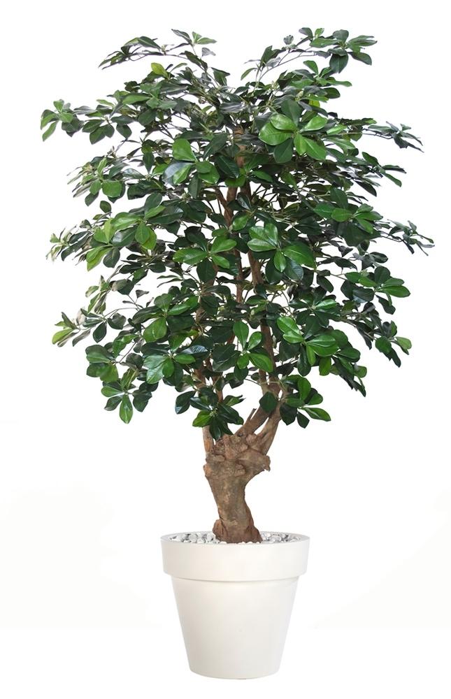 Buxifolia Malabar